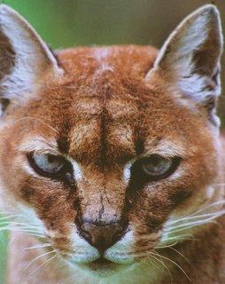 Overzicht Katachtigen Wild Cats Magazine