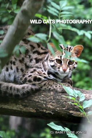 Sale for Asian leopards