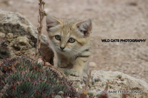 Sand cat (IMG_8714)