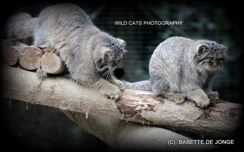 Palas'cat / Manul