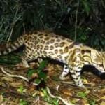 LeopardusGuttulus0
