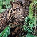 Borneo clouded leopard