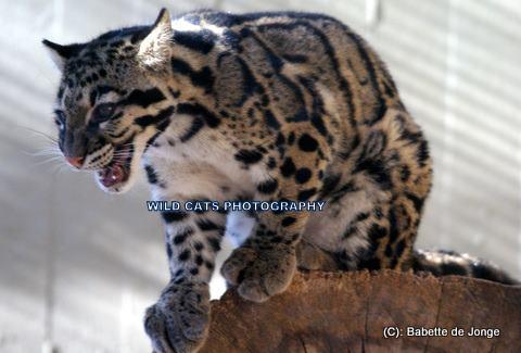 Clouded Leopard 11