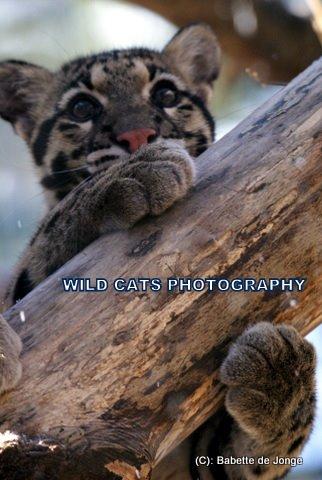Clouded Leopard 13