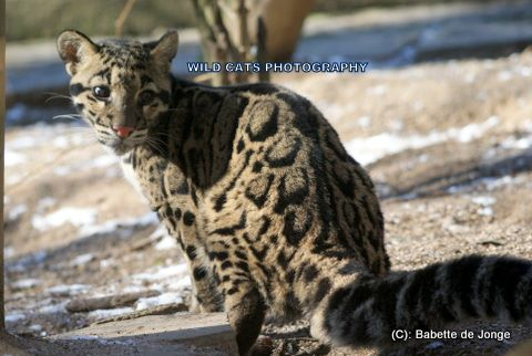 Clouded Leopard 15