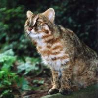 Tsushima cat