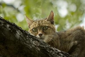 african-wild-cat-bushwise
