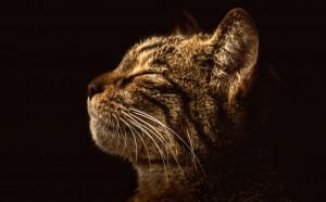Scot Wildcat by Adrian Bennett