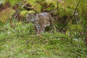 chilean cat 2