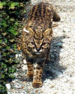 chilean cat