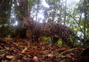 09_Sunda-clouded-leopard-Neofelis-diardi-865x600