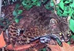 Nachtkat-Kodkod