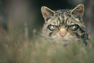 1-cairns-wildcat-05