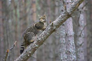 Scottish wildcat (Felis sylvestris) climbing fallen tree in pine forest, Cairngorms National Park, Scotland.