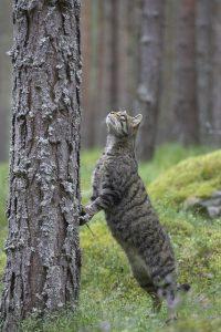 Wildcat0019
