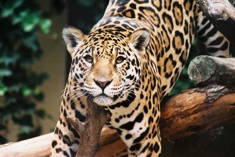 jaguar (panthera onca) - wild cats magazine
