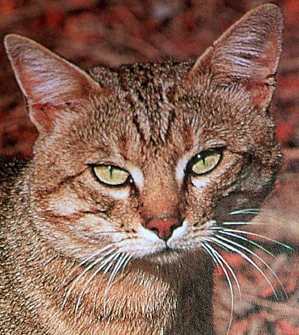 Known species of wild cats - Wild Cats Magazine