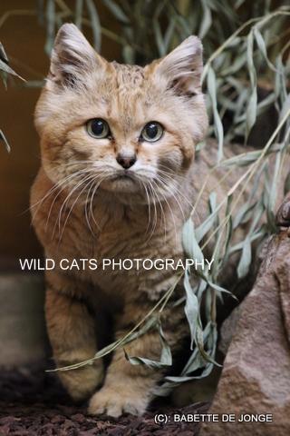 Sand Cat Felis Margarita Wild Cats Magazine