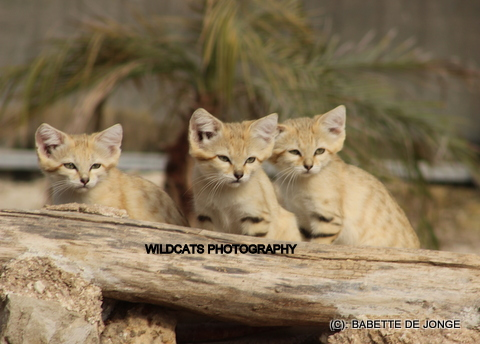 Sand cat (IMG_8685)