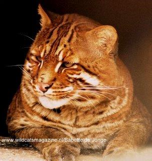 Asian Golden Cat Pardofelis Temminckii Wild Cats Magazine