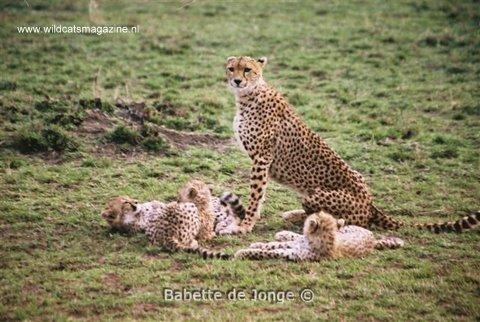 Cheetah (Acinonyx jubatus) - Wild Cats Magazine