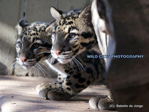 Clouded Leopard 12
