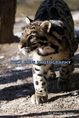 Clouded Leopard 7