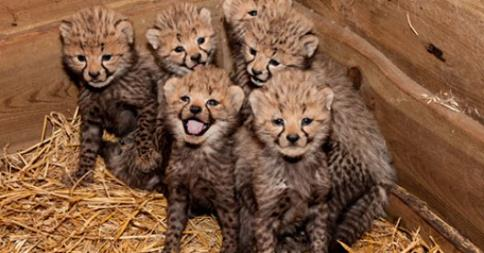6_cheetahcubs_born