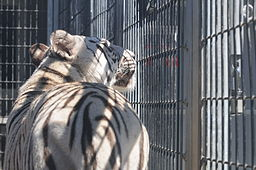 Royal_White_Bengal_Tiger_in_cage_at_Cougar_Mountain_Zoological_Park
