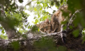 african-wild-cat-up-tree-bushwise