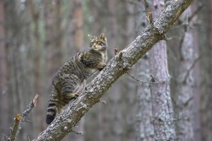 Scottish wildcat (Felis sylvestris) climbing fallen tree in pine forest, Cairngorms National Park, Scotland.