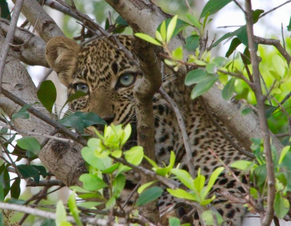 "Leopard ""Furaha"""