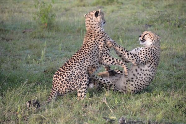 Neebati cheetah cubs